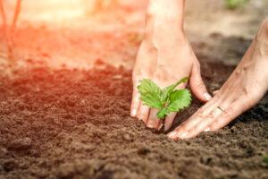 hands planting a seedling